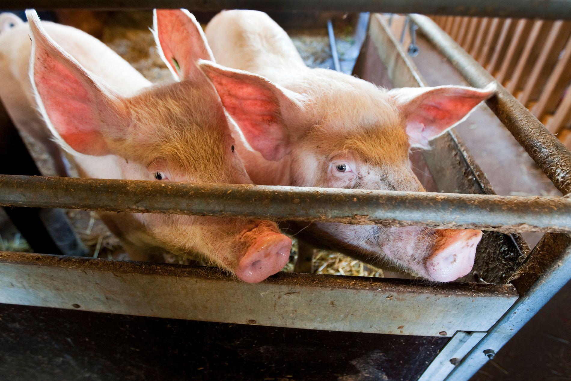Overproduksjon av svinekjøtt gjør at partene bak jordbruksavtalen skal utrede en mulig ordning for å kjøpe ut bønder.