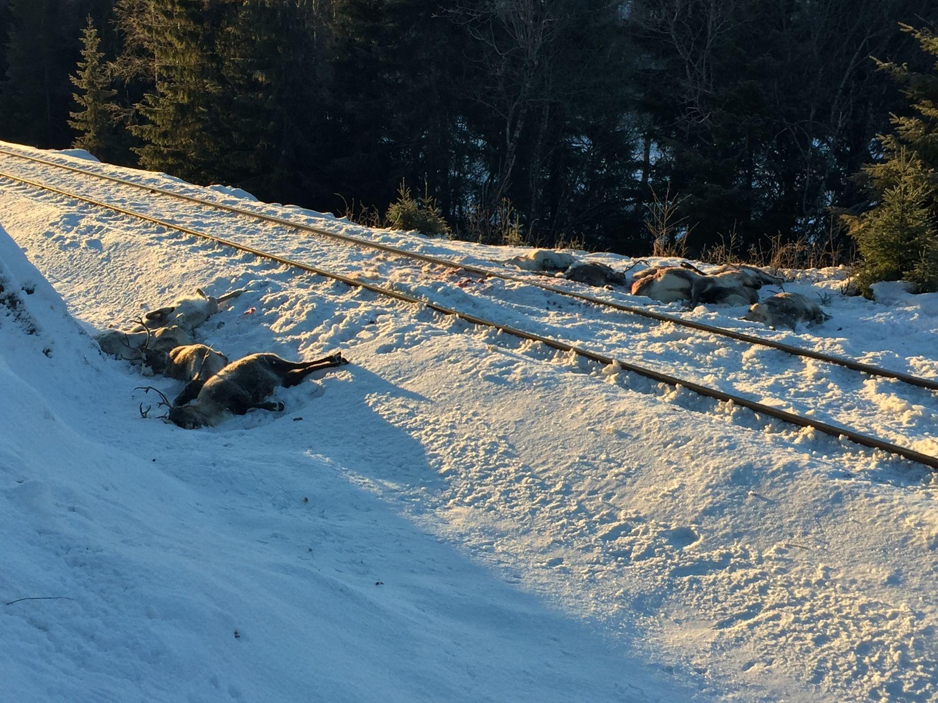 MEID NED: Trolig har minst 95 reinsdyr blitt drept av tog i helgen på grunn av en teknisk feil. – Helt forferdelig. En alvorlig dyrevernssak, sier Carola Karl Urvik i Vefsn kommunestyre til Helgelendingen.