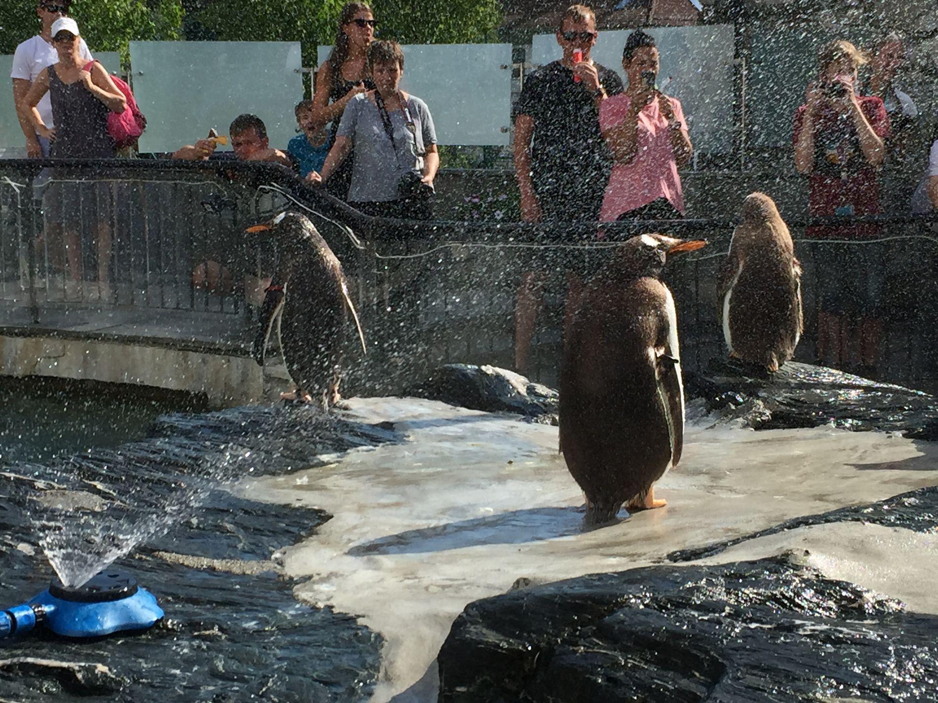 KALD SPRUT: Pingvinene i Akvariet får en god og kald dusj i det varme sommerværet.