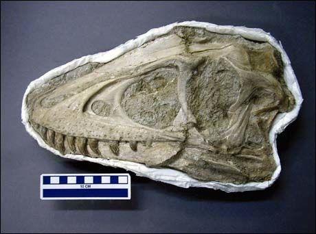 HODET: Denne Tarbosaurus-ungen levde i krittiden, for omtrent 70 millioner år siden. Foto: Reuters