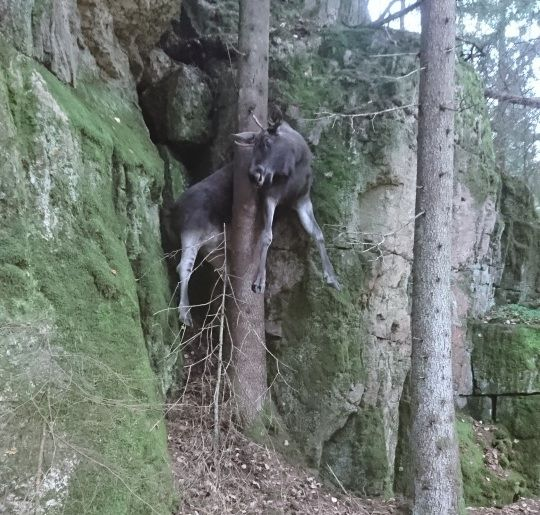 traff på død elg i tre vg
