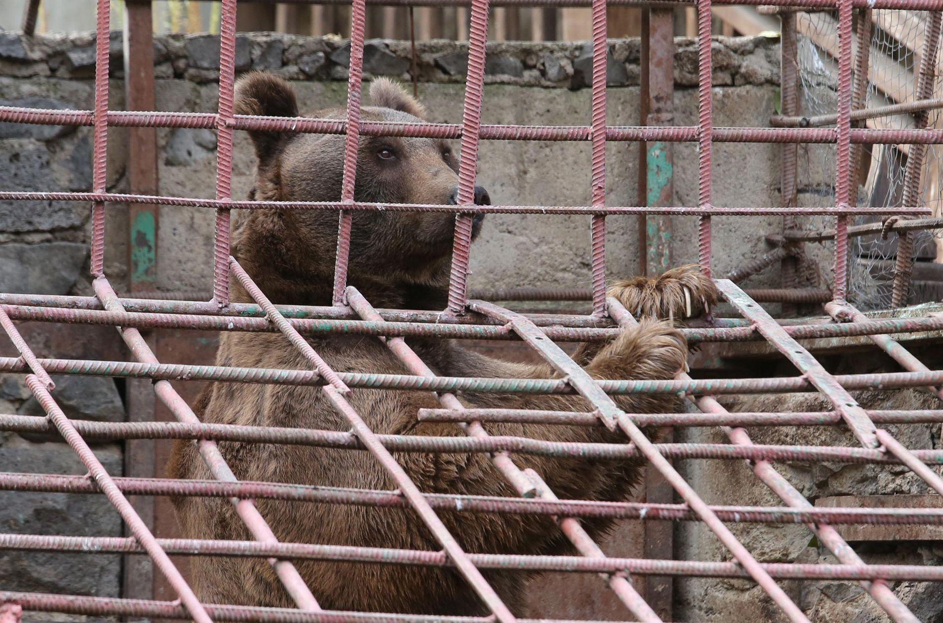 FANGET: En av de fangede bjørnene, enten Dasha eller Misha, lener seg mot veggen i buret.