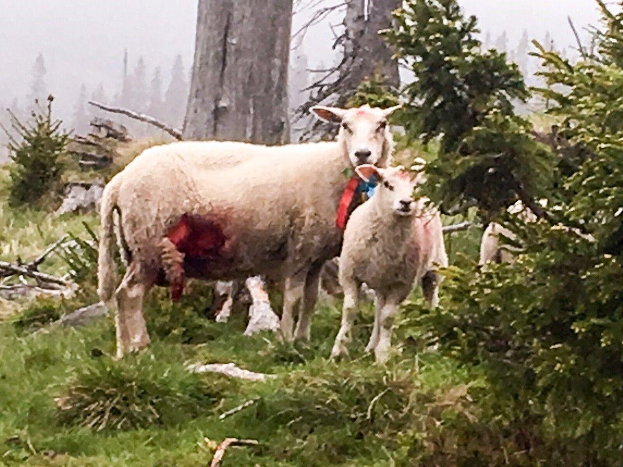 FLÅDD: Kjetil Ulset i Gran Saubeitelag i Oppland forteller at mange av sauene var flådd levende av ulven.