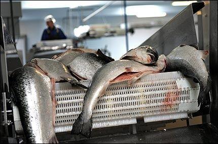 HARD MEDFART: Norsk lakseoppdrettsnæring har fått hard medfart i år. Foto: SCANPIX