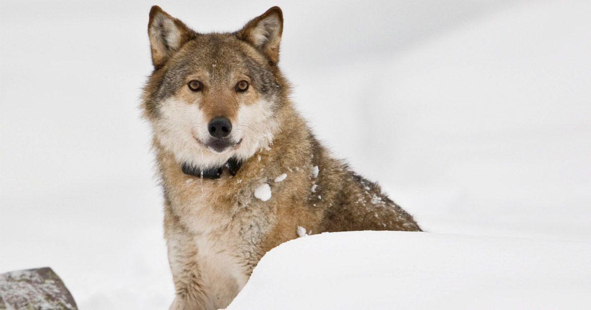 HAR FÅTT SIN EGEN MELDING: De rundt 30 helnorske ulvene skal få leve, med noen små justeringer i hvor og hvordan.