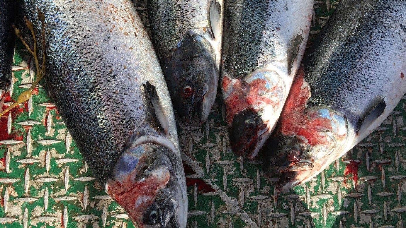 ANGREPET: Bildene av oppdrettslaks angrepet av lakselus er tatt under Mattilsynets inspeksjoner i høst. Lerøy og Måsøval ble anmeldt til politiet i slutten av oktober for alvorlige mangler på fiskevelferd.