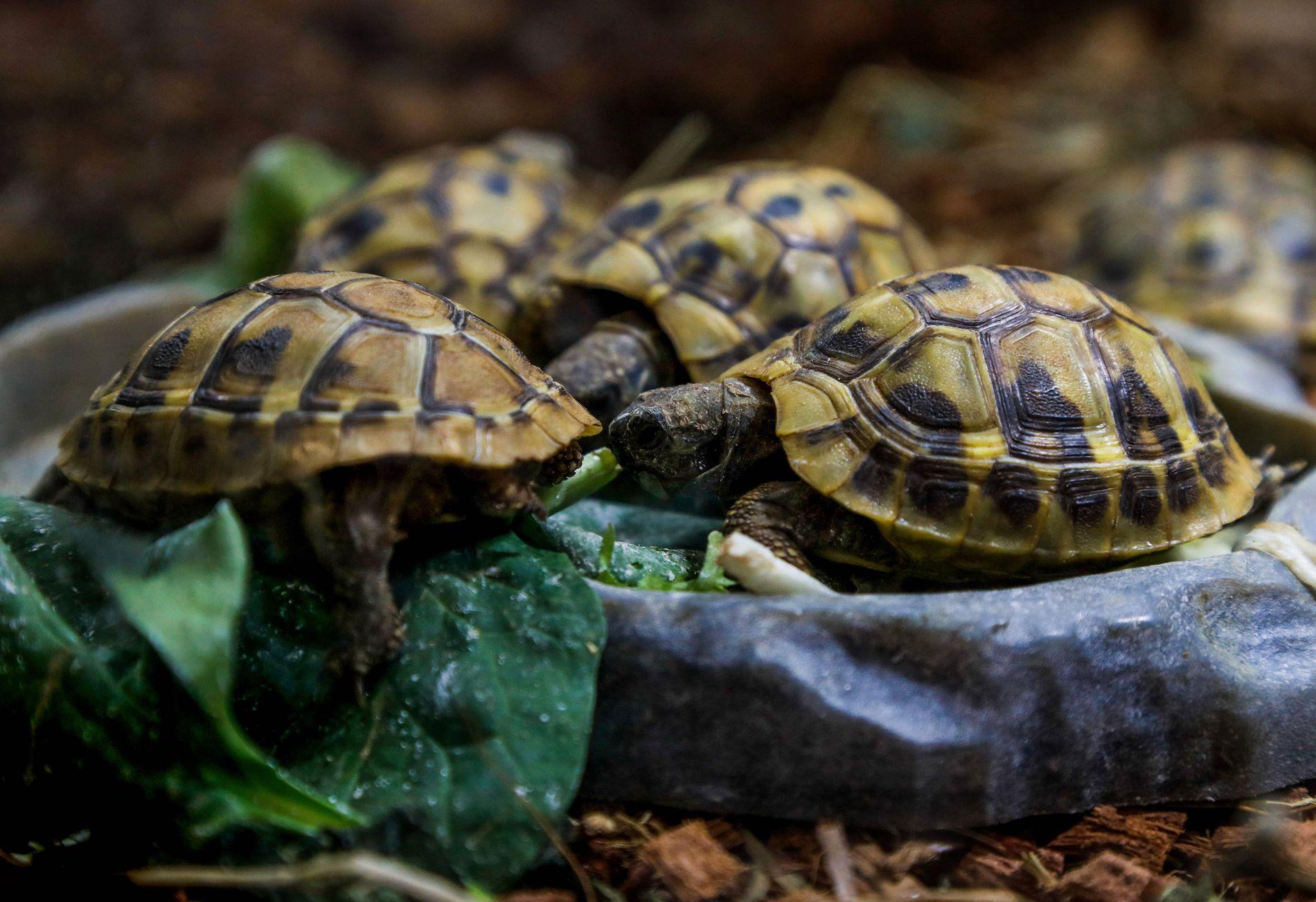 TRUET: En gruppe greske landskilpadder avbildet i dyrebutikken La Ferme Tropicale i Paris 29. mars.
