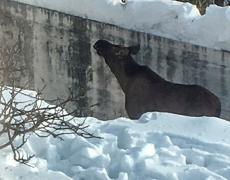 FANGET: En elg ble funnet i et basseng i Oslo søndag ettermiddag. Elgen måtte få hjelp fra Viltnemnda for å komme seg opp.
