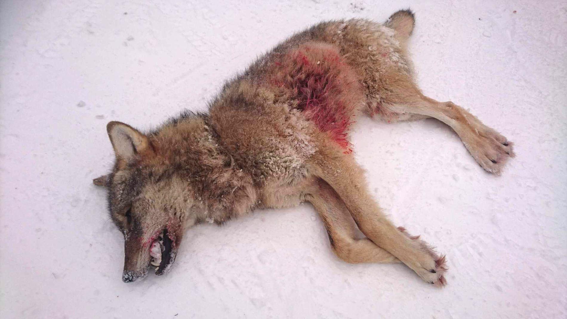 En årsgammel ulvetispe fra Julussa-reviret ble fredag felt av jegere fra Statens naturoppsyn. Foto: Miljødirektoratet / NTB scanpix