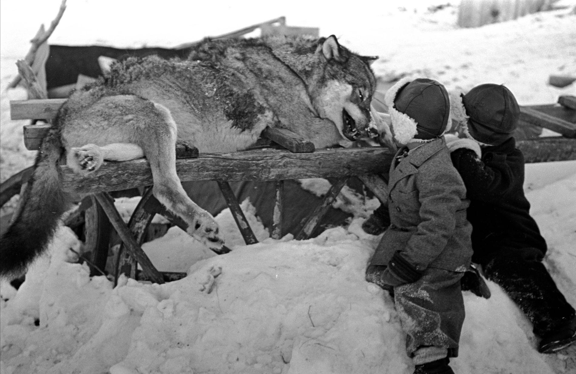 JAKT I 1949: Selv ikke da regjeringen bevilget penger til omfattende ulvejakt i Finnmark i 1949 ble det skutt flere ulv enn regjeringen legger opp til i år. Det ble vinteren 1949 satt i gang omfattende ulvejakt på Finnmarksvidda på grunn av skader på reinsflokker.
