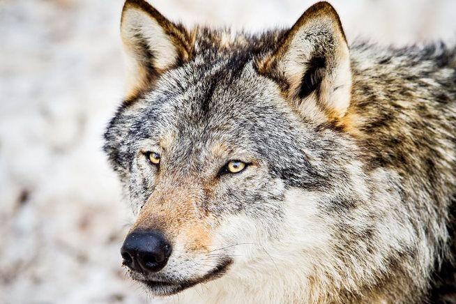 ULVENS UL: – Tenk å sitte i Rendalen en vinterkveld og lytte til ulvens uling mens nordlyset flammer, skriver Ingvald Godal.