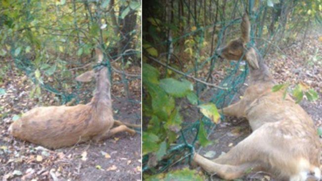 PLAGES I HJEL: Det er et problem at dyr settes seg fast i ballnett, melder fallviltjeger Kai Magne Bråten. Han hetet ut dette rådyret, som døde i fjor etter å surret seg inn i dette fotballnettet.