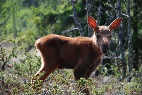 LIDER: Antall skadeskutte elg har økt dramatisk de siste 30-40 årene, mener forsker. Denne krabaten slipper imidlertid unna, for han bor på Langedrag Naturpark. Foto: Oddbjørn Almaas