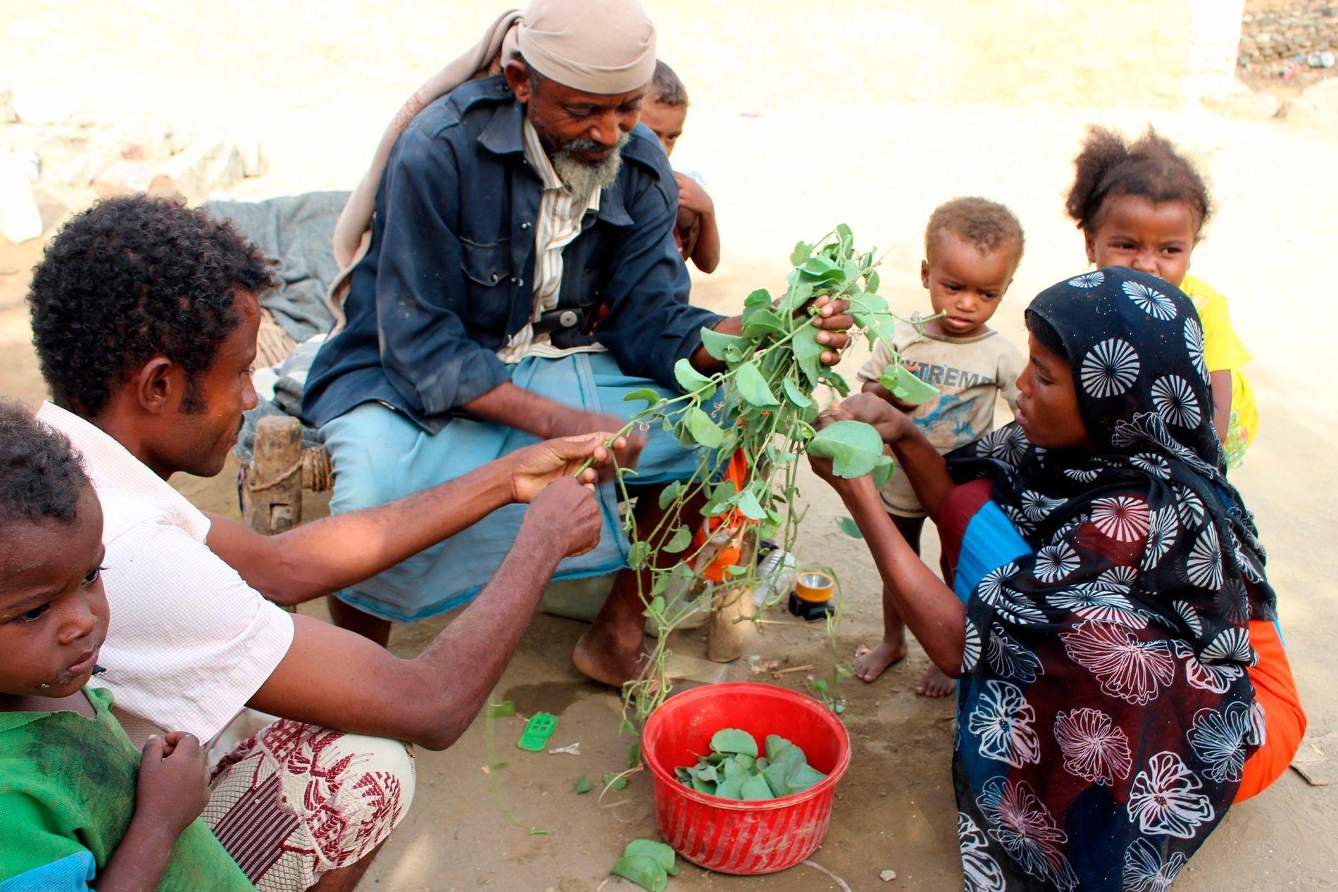 LITE NÆRING: En familie plukker løv til mat, grunnet fattigdom i Abs-distriktet i Jemen i august i år.