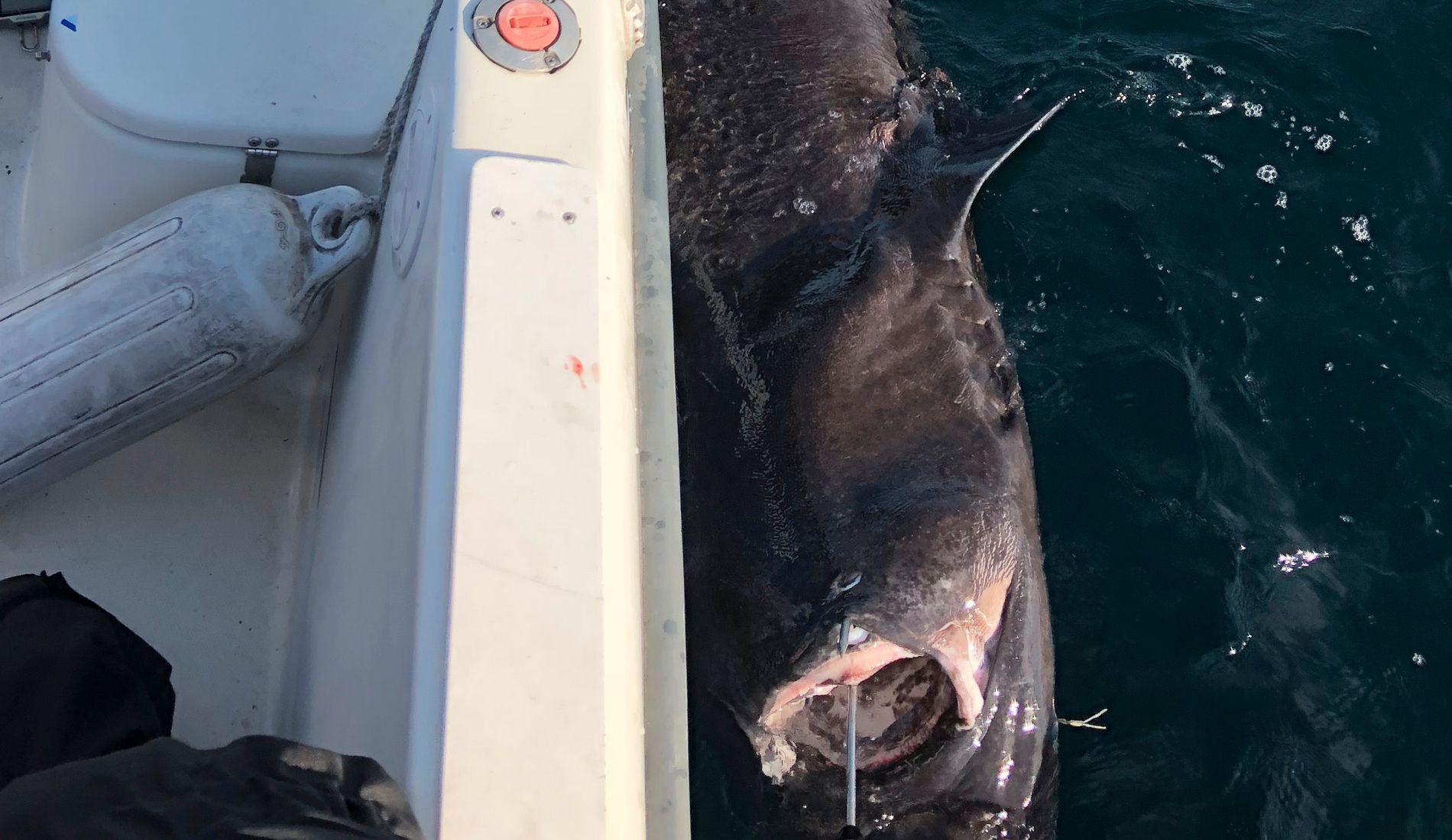 PÅ KROKEN: Den 200 kilo tunge haien ble sveivet om bord med helt vanlig havfiskeutstyr.