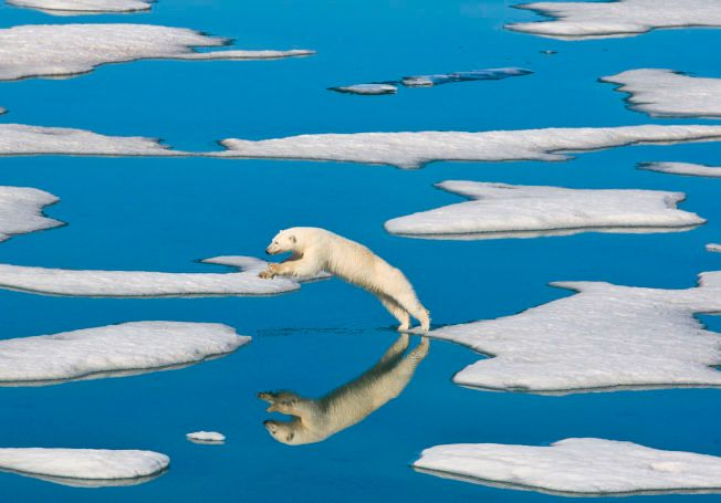TRUET: Denne isbjørnen er en av de som virkelig får kjenne klimaendringene på kroppen.