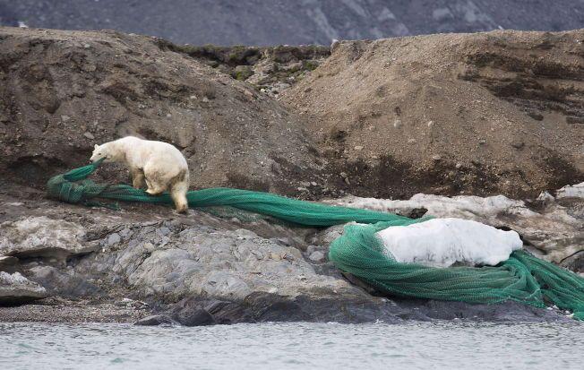 ØREVERK: Isbjørnbinna kjempet i flere timer mot fiskenota som hadde satt seg fast i øremerket hennes.