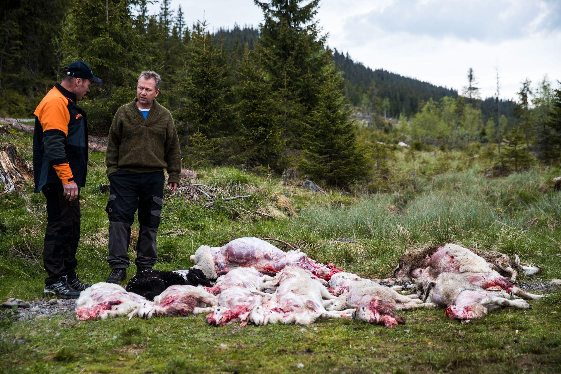 BRUTALT: Den siste uken har det vært tre ulveangrep i Gran og et angrep i Hurdal som har tatt over 80 saueliv. Styreleder Kjetil Ulset (til venstre) i Gran sauebeitelag og leder Hans Kristian Skaug i sauebeitelaget i Lunner og Jevnaker.