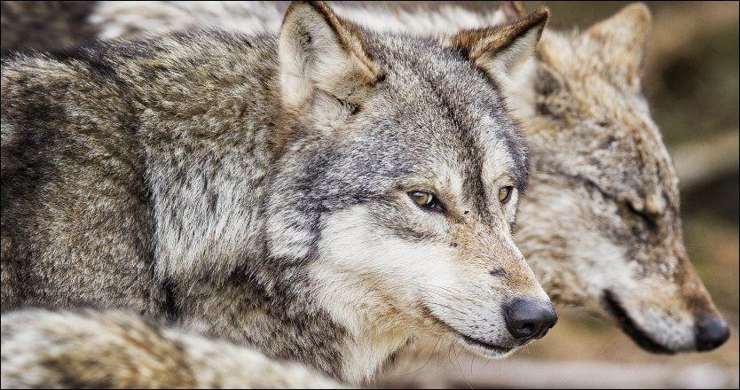 ULV I FANGENSKAP: I Norge finnes ulv både i- og utenfor fangenskap. Disse to eksemplarene befinner seg i Namsskogan familiepark. Foto: ØYVIND NORDAHL NÆSS/VG