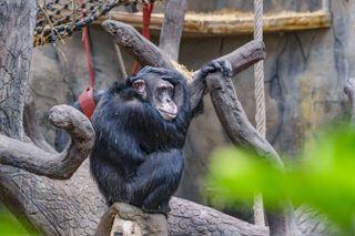 VENTER SOMMERBESØK: Den 39 år gamle sjimpansen Julius i Kristiansand Dyrepark.