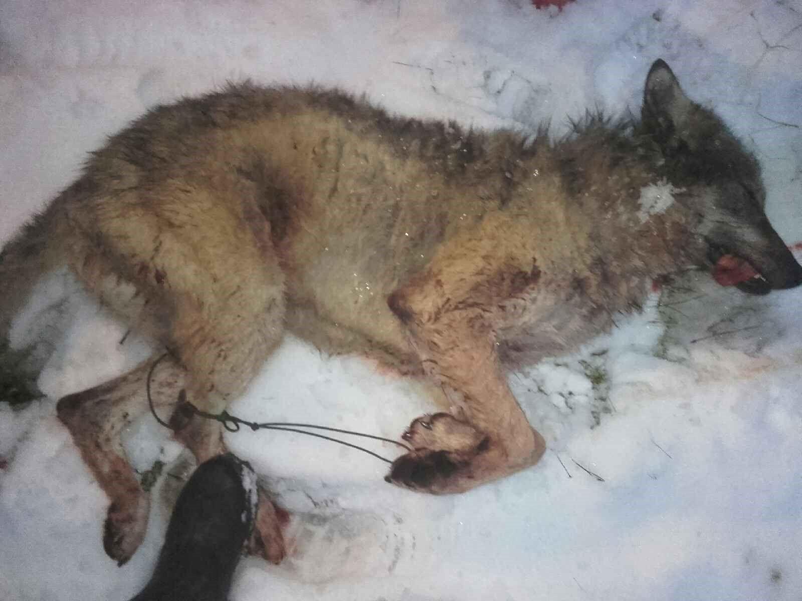 DØD: Denne ulven ble skutt onsdag av et lokalt fellingslag i Stor-Elvdal.