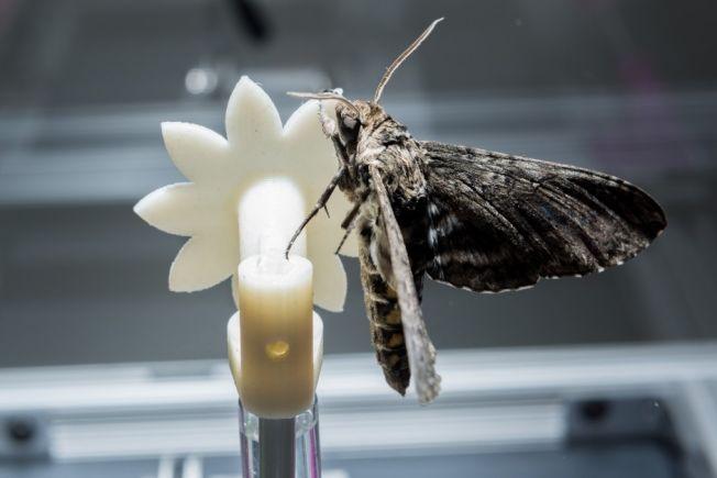 En nattsvermer prøver å suge nektar fra en kunstig blomst i laboratoriet.