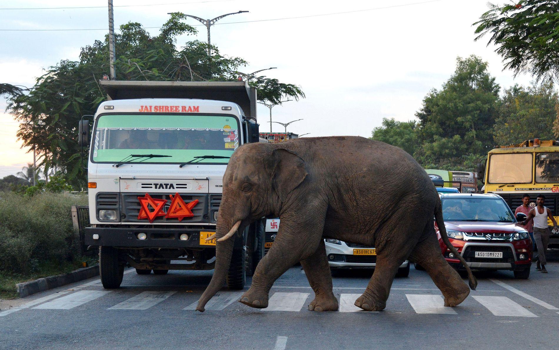 MYK TRAFIFANT: Bilene måtte pent stoppe for den lovlydige elefanten.