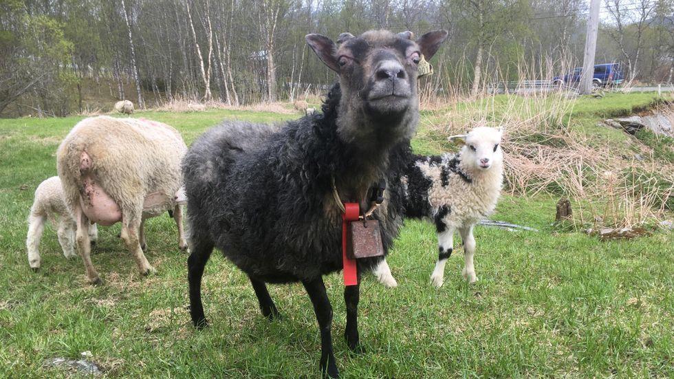 23 ÅR: Pippi er av rasen gammel norsk villsau, og har bodd sine 20 første år på Hillesøy. Nå bor hun på Berglund gård på Vikran, og har nettopp født lammet Olaf.