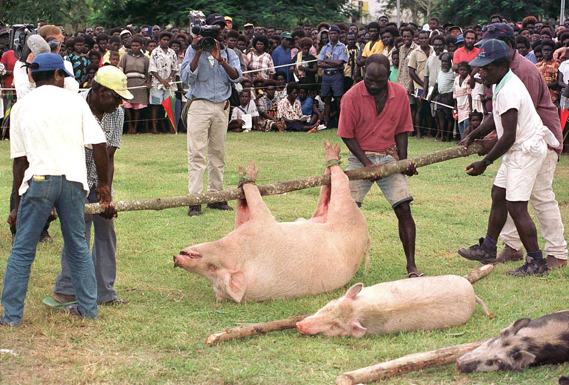 VÅPENHVILE: Lederne for de krigende partene på Bougainville får levende griser som et tegn på forsoning, etter at de skrev under en våpenhvile i 1998.