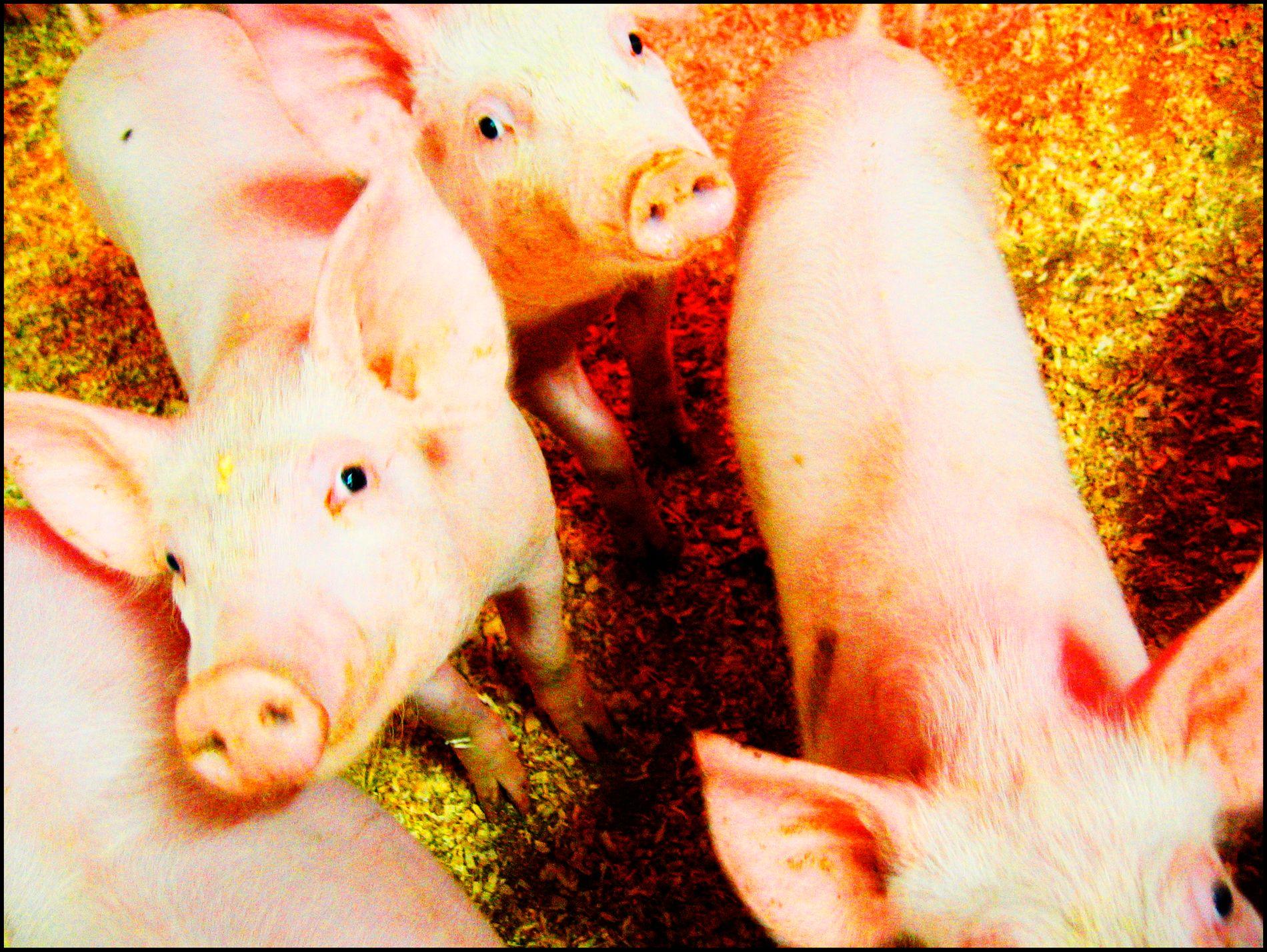 En dokumentar om svineprodusenter som sendes på NRK onsdag kveld har skapt reaksjoner. Nå anmelder Nortura en av sine leverandører på bakgrunn av det som fremkommer i filmen. Illustrasjonsfoto: Lise Åserud / NTB scanpix