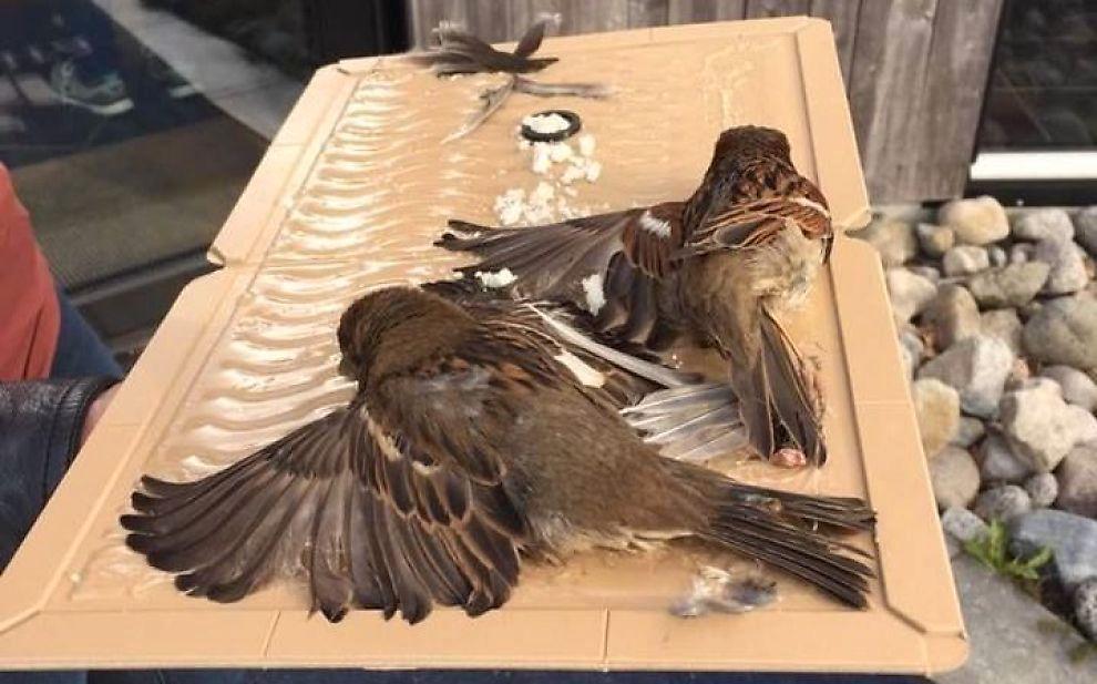 LIMFELLE: De to fuglene satt bom fast på fellen, som også var full av brødsmuler. Kusinene tok dem med seg til veterinær.