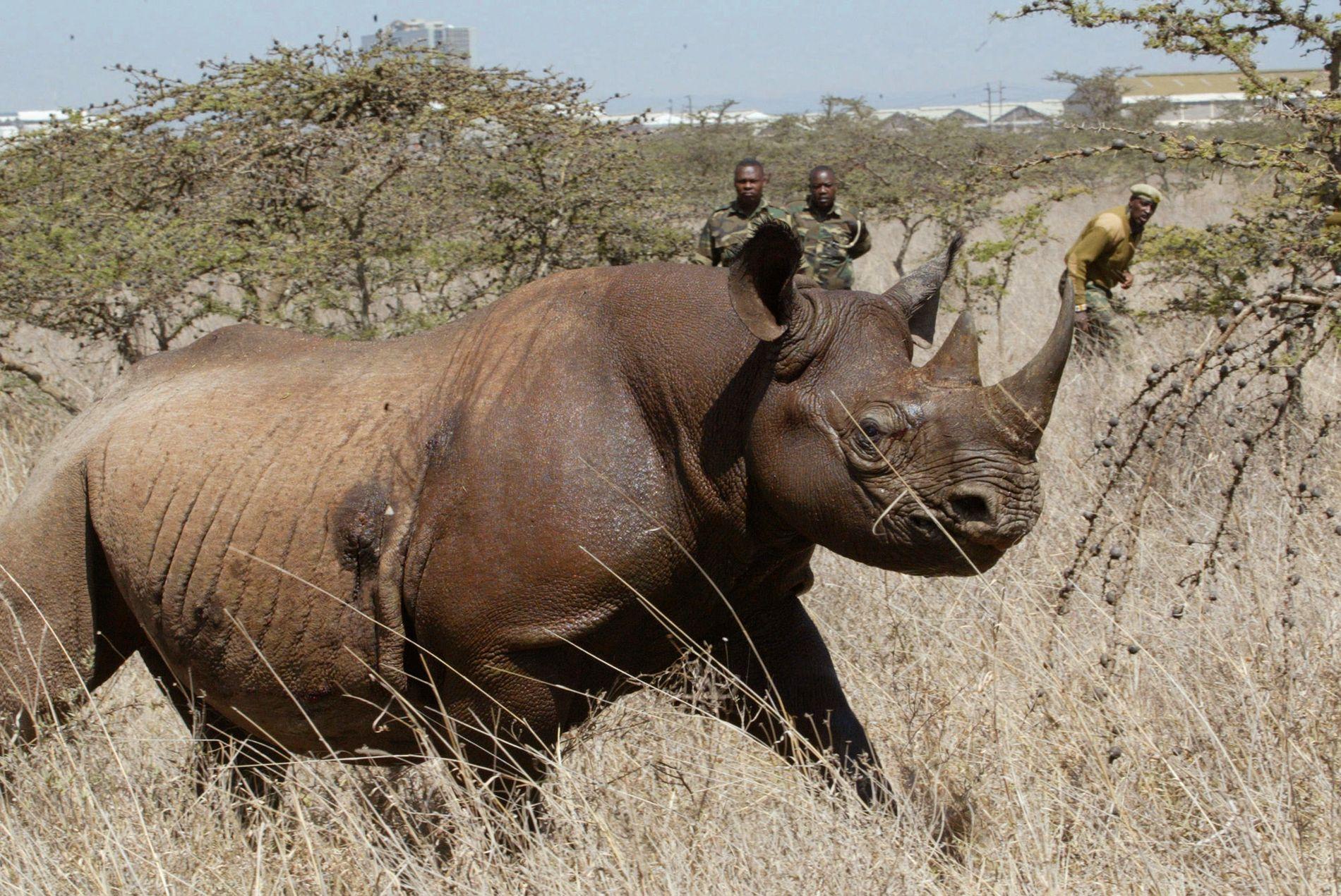 TRUET: Ni av elleve svarte neshorn som i forrige måned ble flyttet til et nytt reservat i Kenya, er nå døde. Dette bildet av et sort neshorn er tatt i Kenya i 2006.