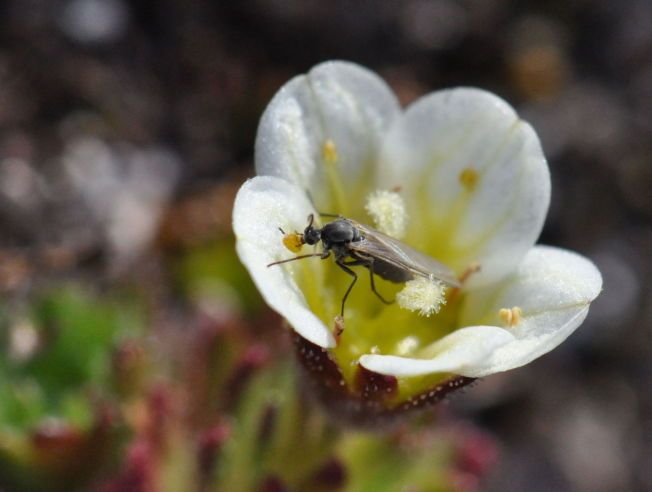 VIKTIG JOBB: Myggen lar vente på seg i år, men når de først kommer kan det bli intenst. Mygg og fluer gjør ifølge ekspertene en viktig jobb. Du kan sannsynligvis takke en sviknott for sjokoladen du spiser, og her ser du en sørgemygg som kryper rundt på blomsten til en tuesildre nord på Spitsbergen - den er en viktig bestøver i arktiske strøk.