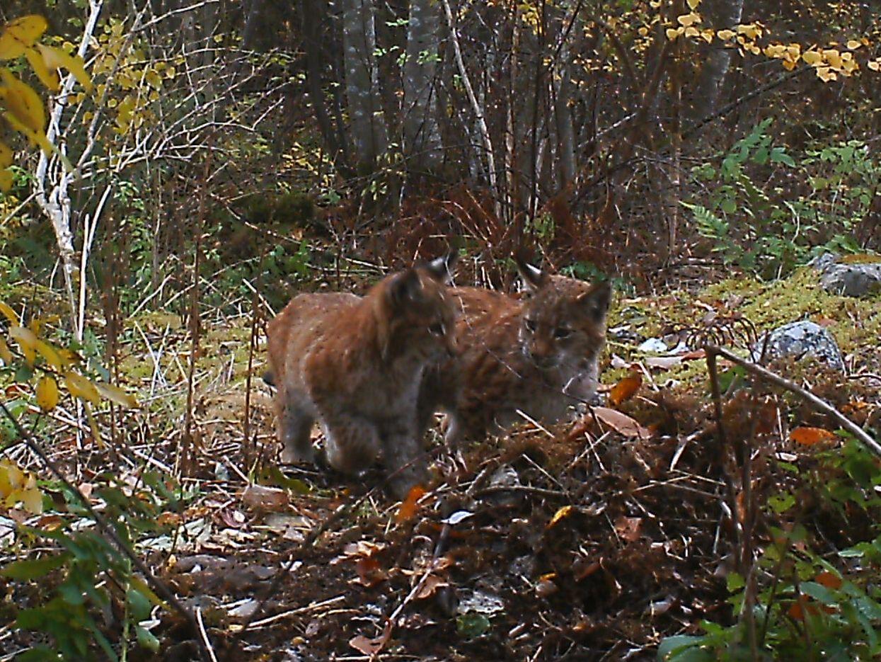 SØSKENPAR: Ved Hadeland i Gran kommune ble to foreldreløse gaupeunger nylig observert. Statens Naturoppsyn venter foreløpig på å se om moren dukker opp.