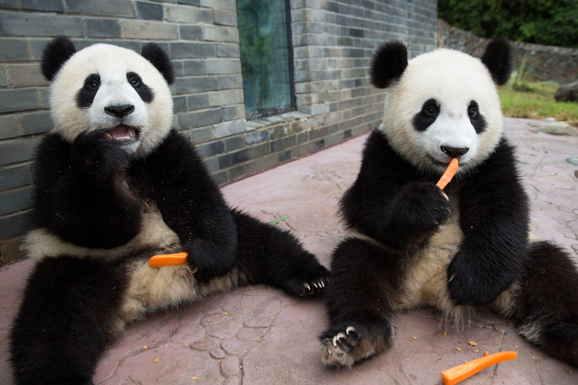 SISTE NYTT: Kjempepandaene er utrydningstruet, men de er ikke tatt ut i streik.
