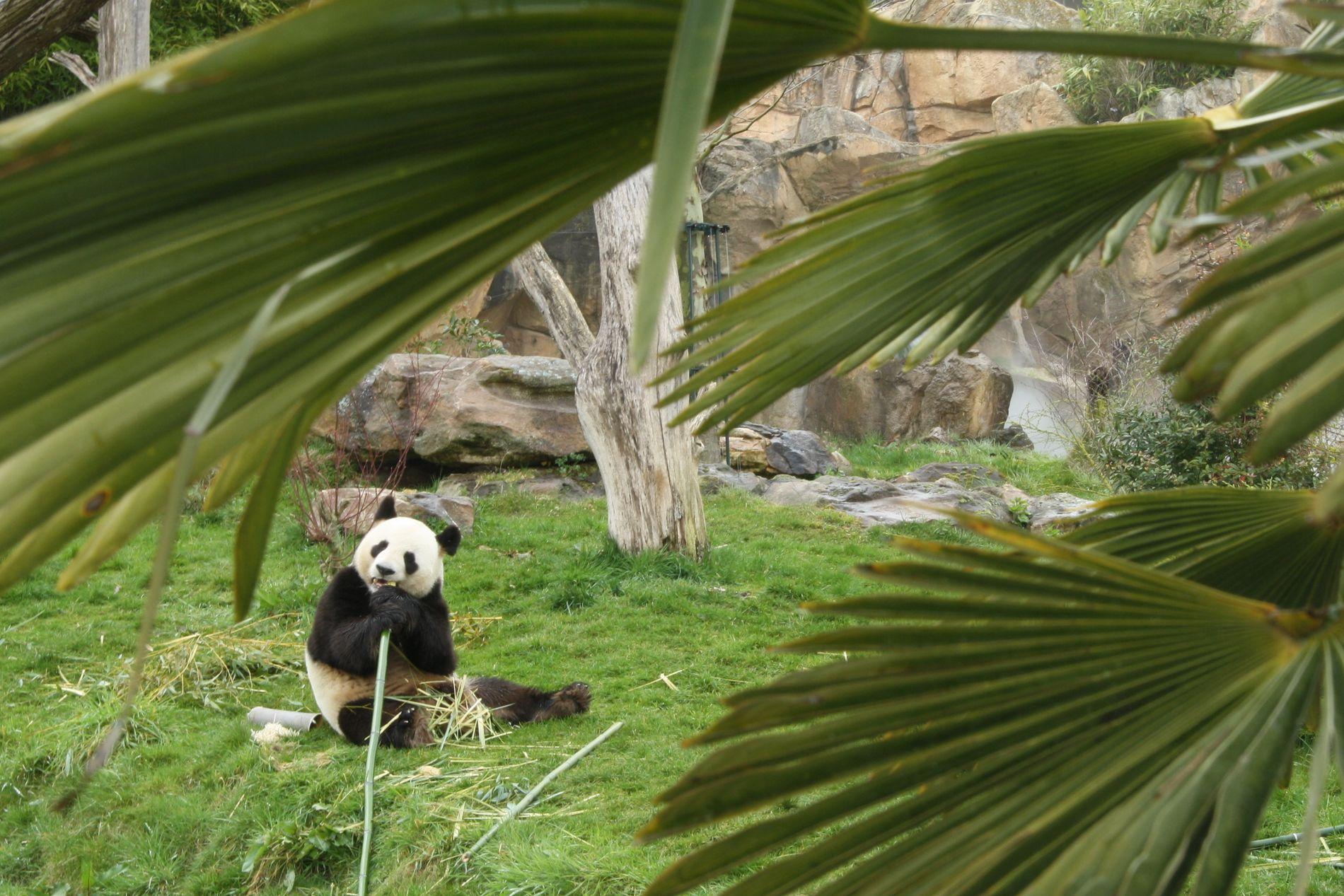 KINESISK EIENDOM: Pandaene forblir Kinas eiendom, selv om de bor i dyreparker i utlandet.