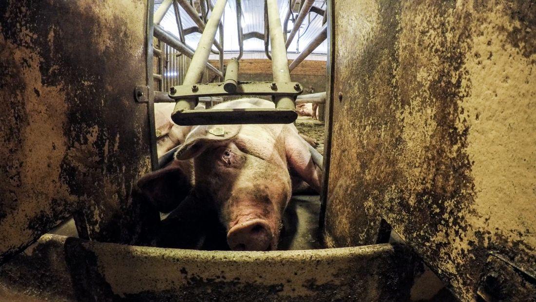 FÅR OPPMERKSOMHET: Grisenes velferd er i ordskiftet etter at NRKs Brennpunkt viser svært kritikkverdige forhold hos noen norske grisebønder.