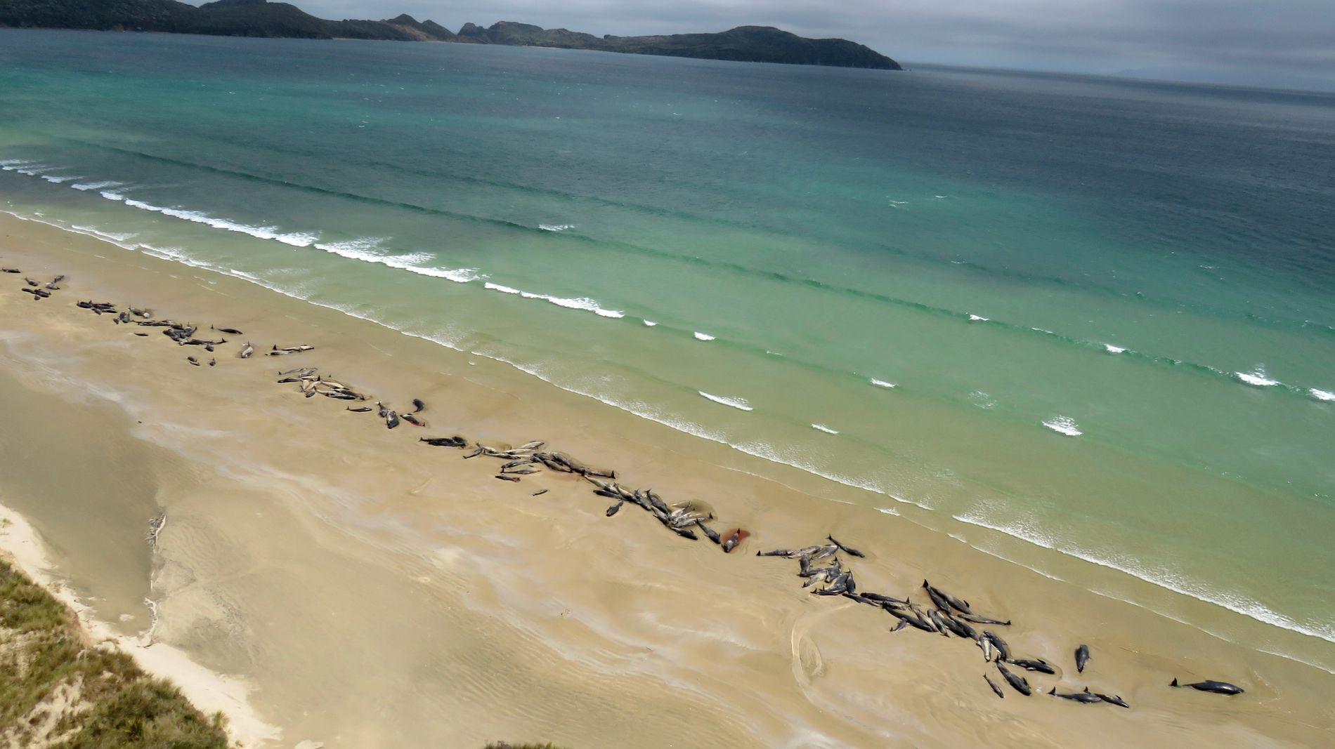 TRIST SYN: Slik så strandlinjen på Stewart Island, New Zealand ut søndag etter en turgåer oppdaget nesten 150 hvaler liggende på land.