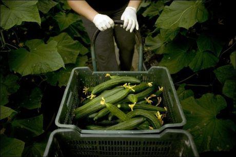 TIL RETTEN:Spanske agurker var likevel ikke kilden til E. coli-smitten som har kostet 30 mennesker livet, men spanske bønder endte opp med å måtte kaste store mengder grønnsaker. Foto: Afp