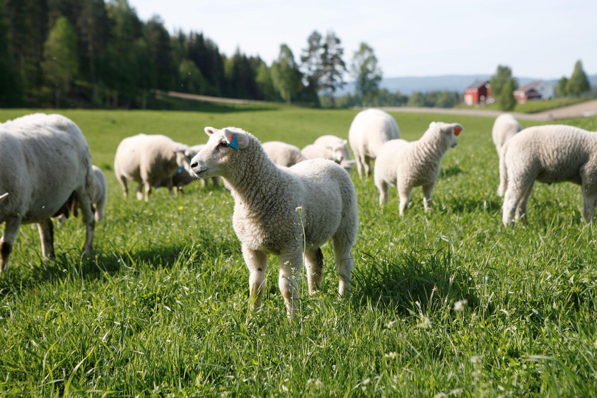 ELSKET OG UØNSKET: VG skrev denne uken om at ulvetilhengere oppfordrer til boikott av norsk sau- og lammekjøtt i butikkene, og at aksjonen bør legges død. Det har vekket reaksjoner.