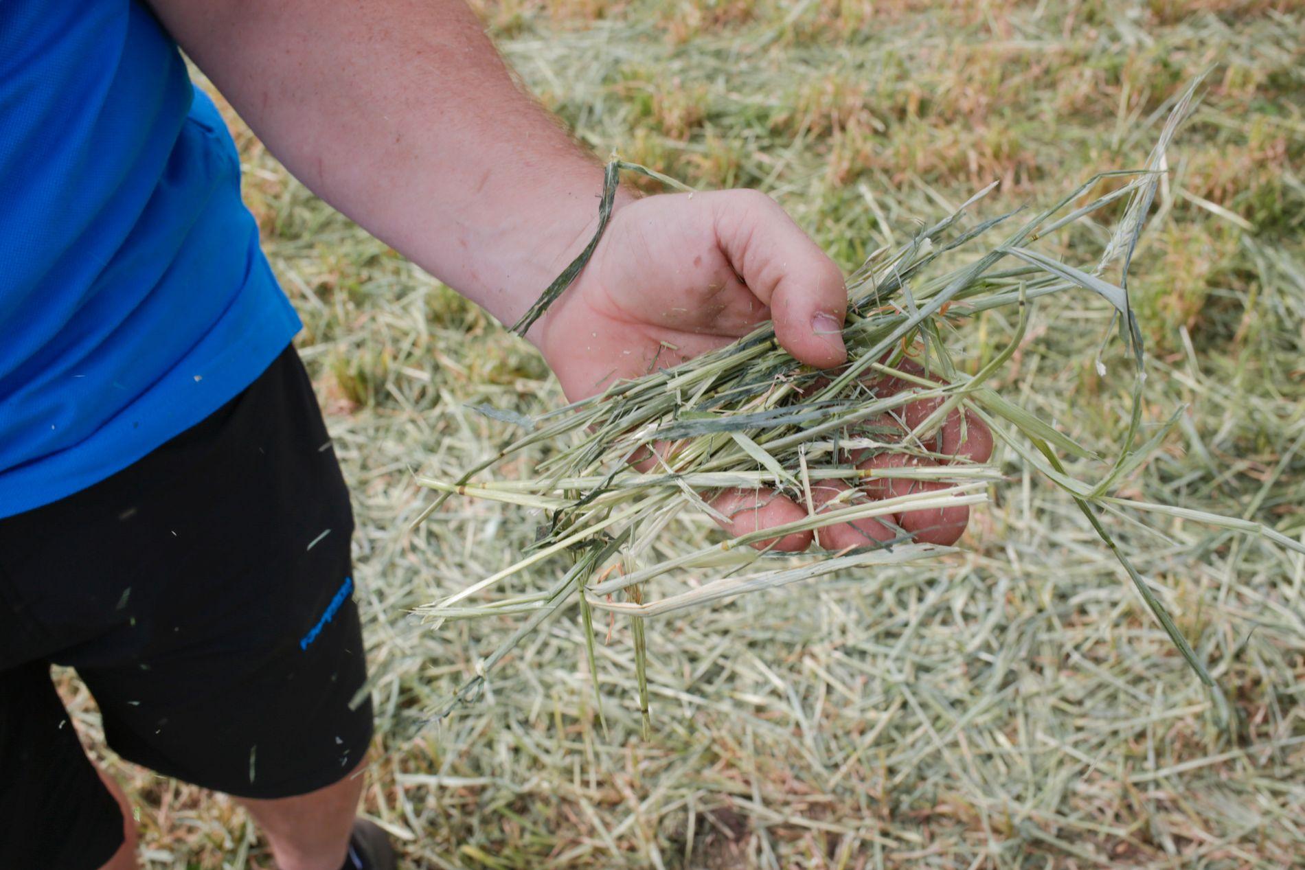 KORN TIL FÔR: Bønder har vært nødt til å slå korn for å fôre dyra sine. Bjørn Sætren på Løten er en av dem.