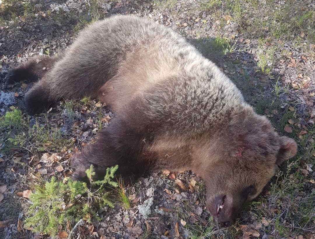SKUTT: Onsdag at en brunbjørn ble slutt på Våler i Hedmark