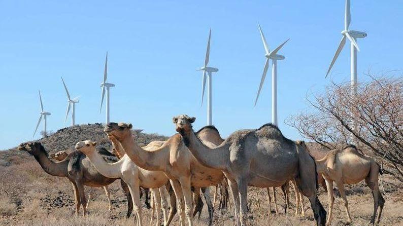 TRENGER KRAFT: NHO og Zero ønsker statlige garantier slik at norske bedrifter kan bygge ut ren energi i u-land. Disse kamelene står foran vindparken Lake Turkana i Kenya, som det har tatt lang tid å bygge ut, men hvor Google nå er blant eierne. De 365 turbinene på til sammen 310 megawatt vil utgjøre 15 prosent av landets installerte strømkapasitet.