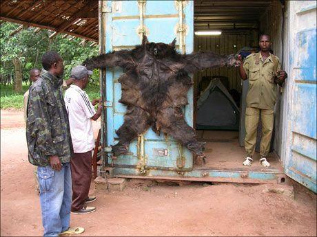 SLAKTET: Gorillaskinnet er ofte det eneste sporet viltvokterne finner etter krypskytterne. Her er et skinn beslaglagt i Den sentralafrikanske republikk. Foto: David Greer, WWF