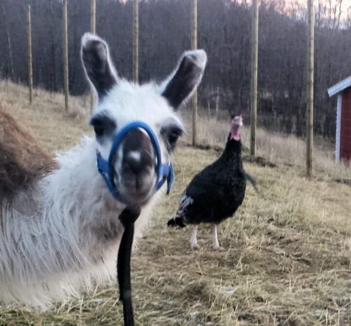 HAR DU SETT MEG? Lamaene har tatt seg en tjuv-ferie. Nå håper eierne at de snart skal komme til rette. Foto: PRIVAT