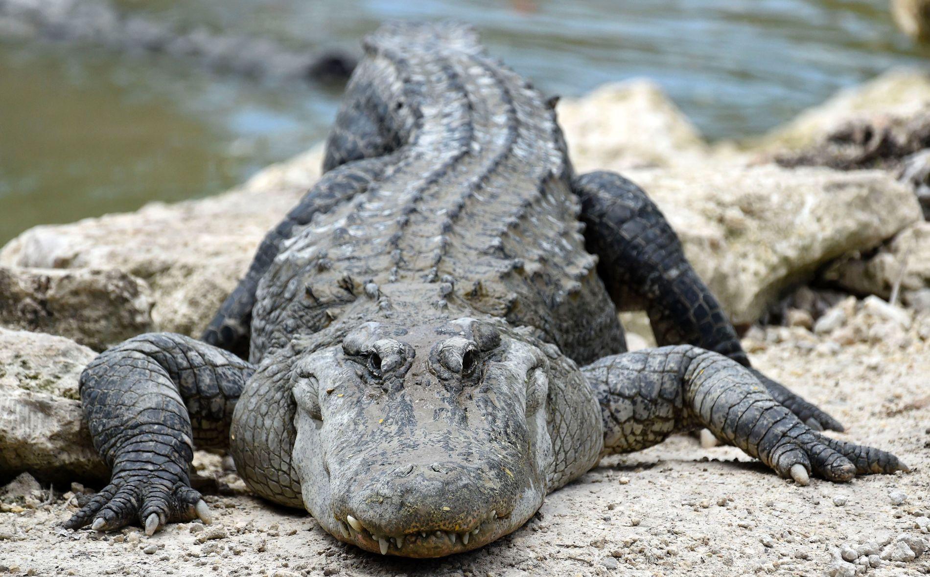 VM-MOTSTANDER: Eksempel på alligator fra Florida. De norske roerne risikerer å møte på krypdyrene under VM senere i september.