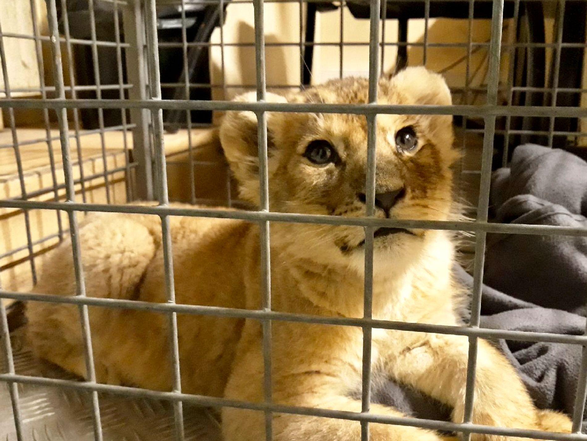 REDDET: Denne løveungen ble funnet i en Lamborghini i Paris mandag, ifølge en fransk dyrevernorganisasjon.
