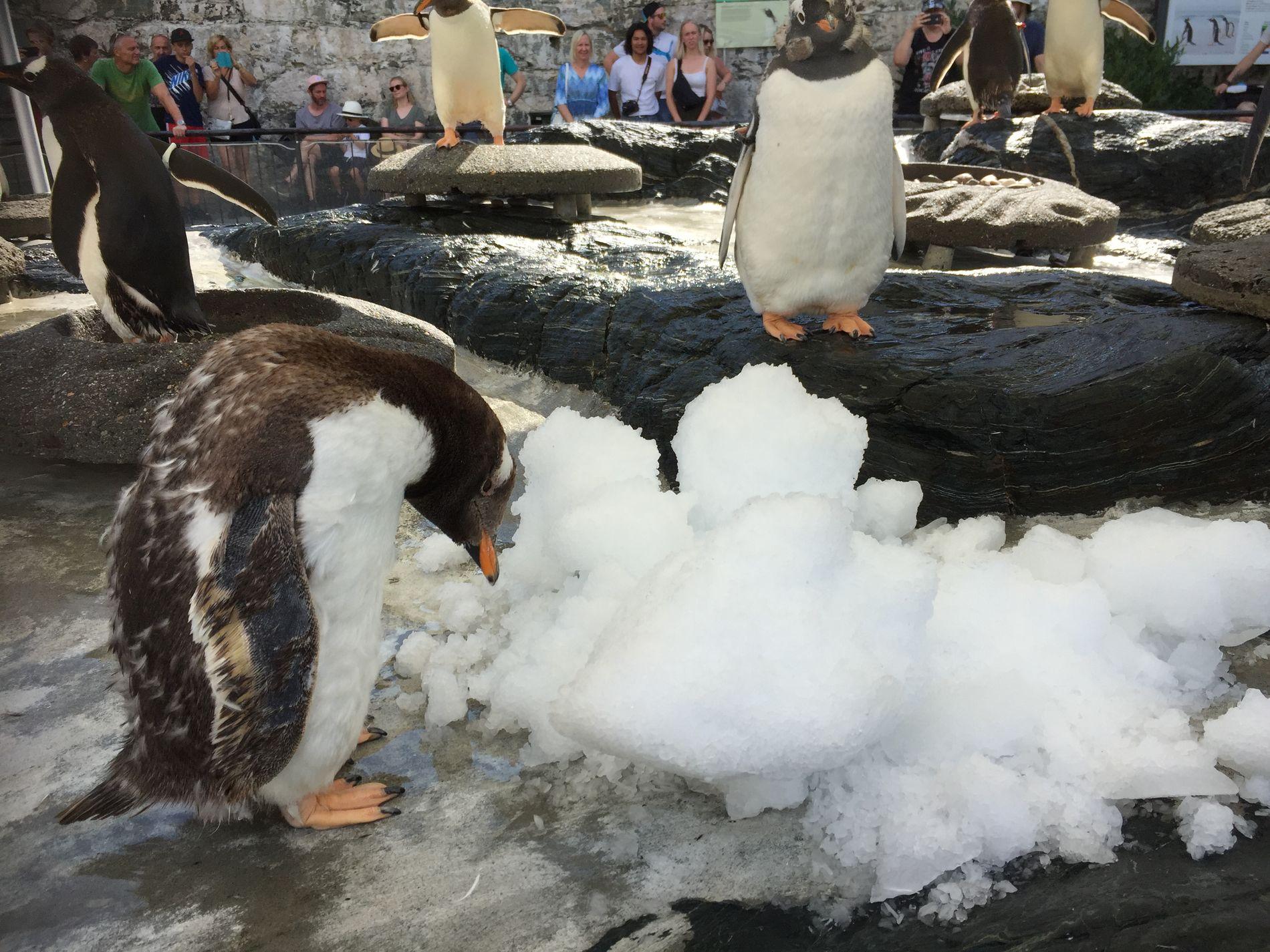 SPENNENDE: «Slush-isen» som ble servert av dyrepasserne var svært interessant for pingvinene i Akvariet i Bergen.
