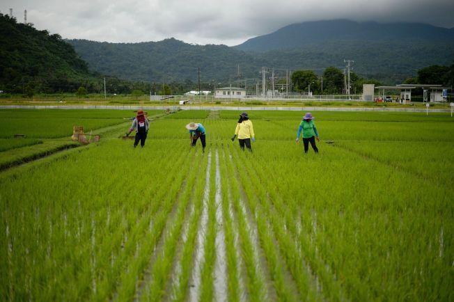 RISAVLING: Bønder jobber på rismarker sør for Manila på Filippinene i oktober 2015. Forskere frykter for at avlinger av hvete og ris vil reduserers drastisk som følge av klimaforandringer.