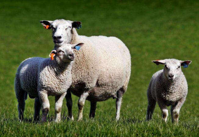 23 AV DISSE: I løpet av et liv spiser Ola og Kari Nordmann cirka 23 lam og sau, ifølge en ny rapport.